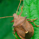 Клоп пикромерус (Picromerus bidens) естественный враг колорадского жука