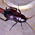 Как избавиться от черных тараканов в доме?