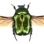 Зеленый жук золотистая бронзовка