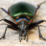 Calosoma_scrutator - Жук жужелица пахучий красотел