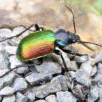 Где живет жук жужелица пахучий красотел
