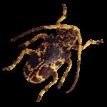 Фото жука усача - дровосека