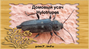 Изображение жука домовый дровосек