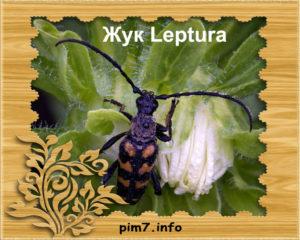 Изображение жука leptura