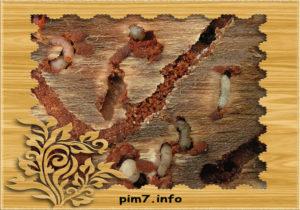 Изображение личники дрвосеков