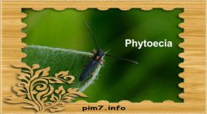 Изображение жука усача phytoecia