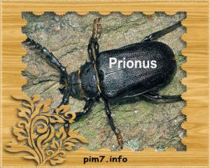 Изображение жук дровосек prionus