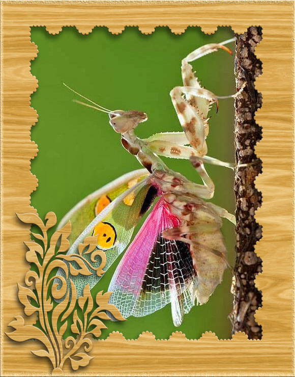 Изображение цветочного индийского богомола в рамке