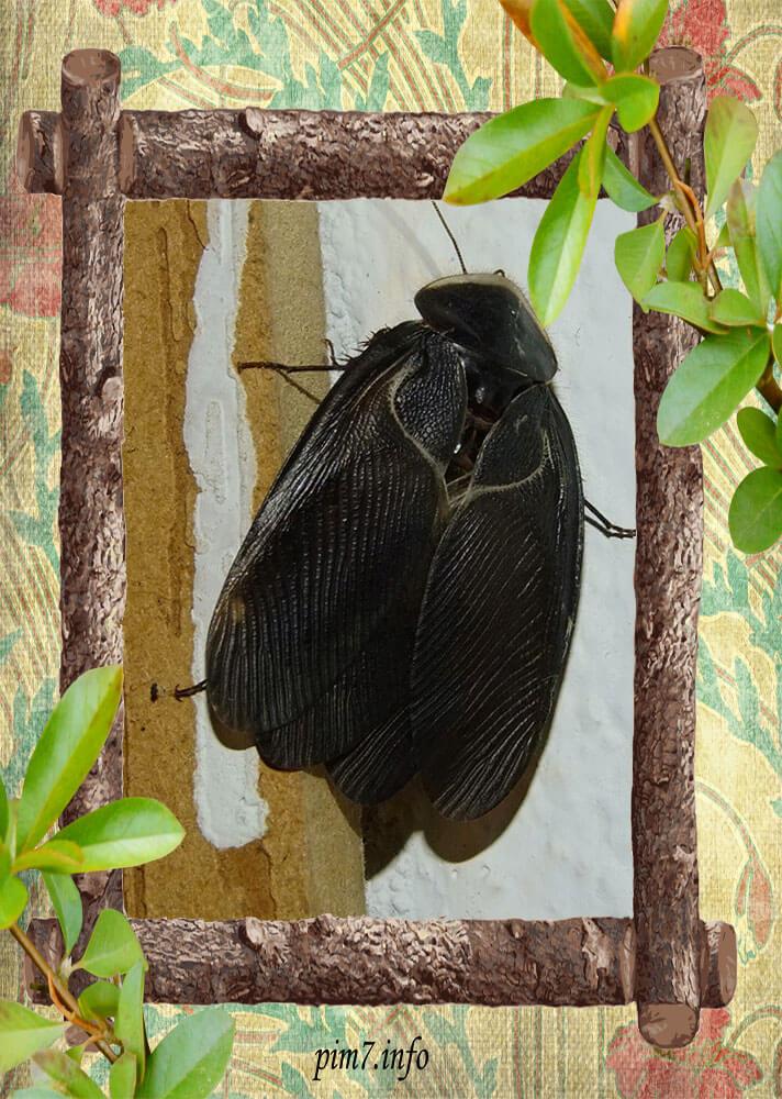 Фото самца египетского таракана