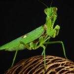 Изображение богомола зеленого