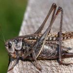 Фото насекомого кузнечика