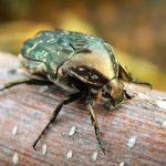 Майский жук золотистая бронзовка