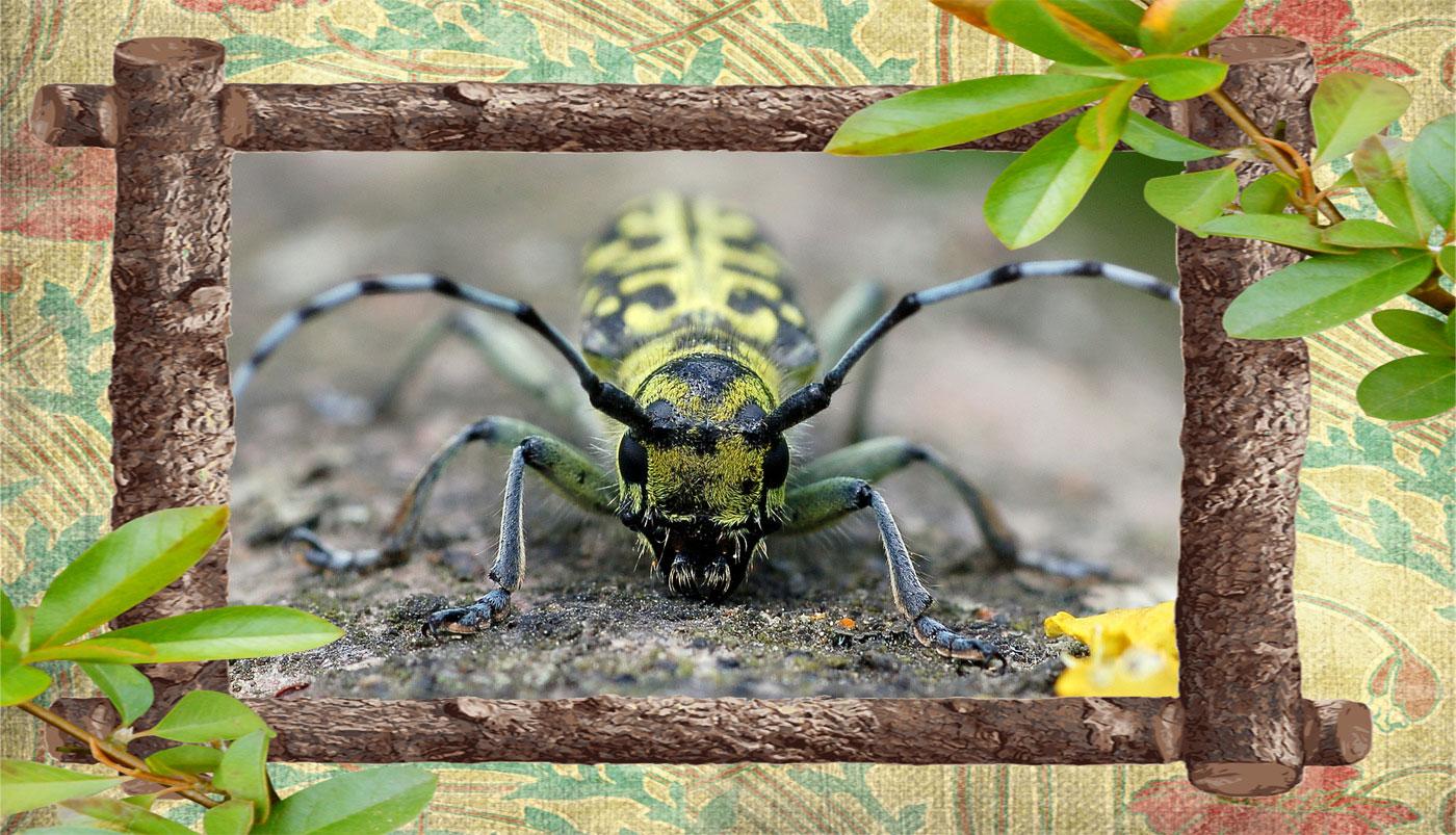 Фото жука усача скрипуна