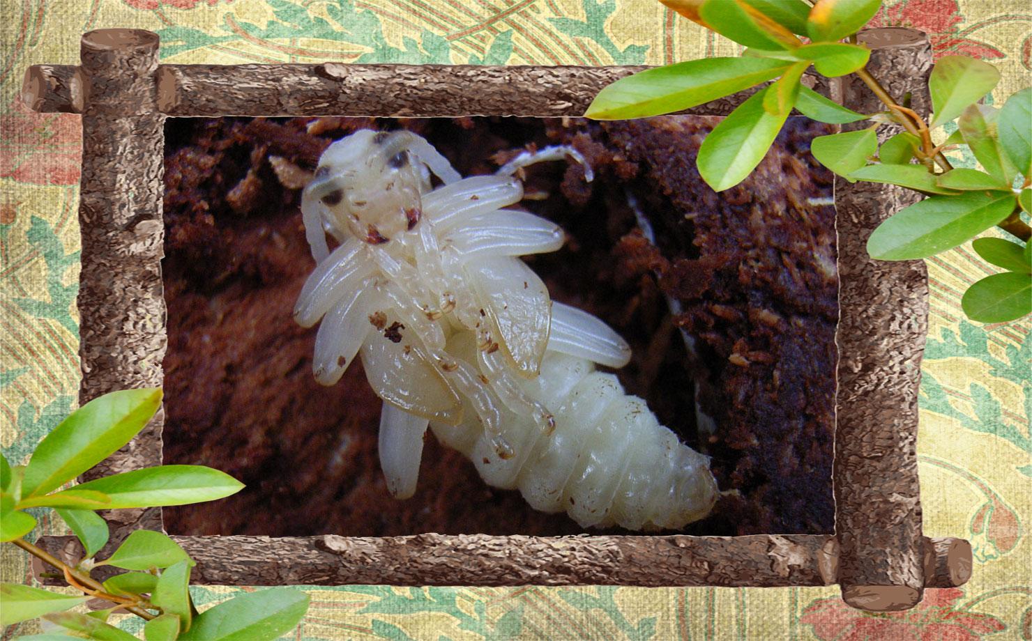 Фото куколки жука дровосека
