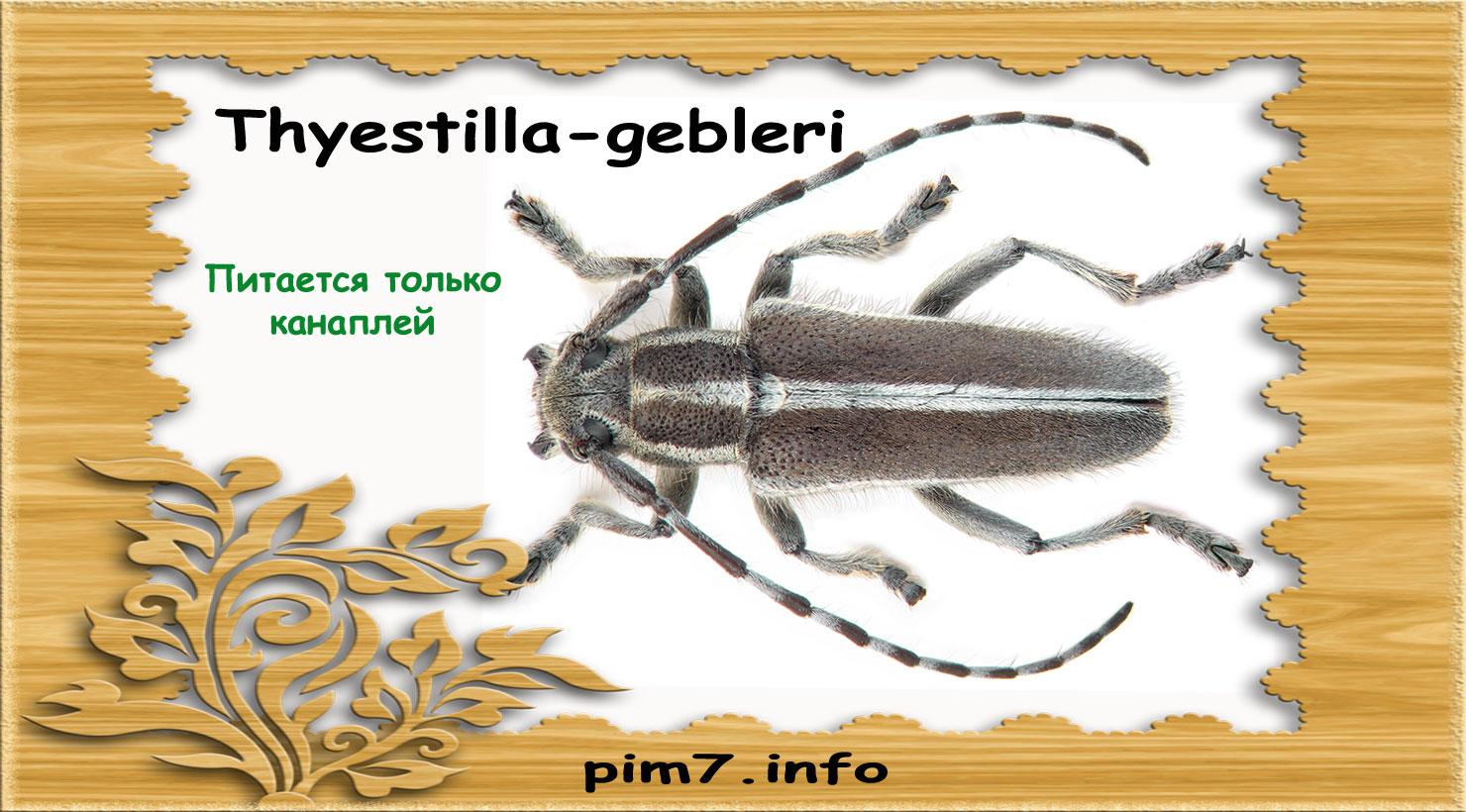 Изображение жука Thyestilla-gebleri