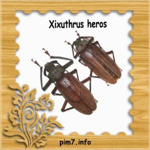 Изображение жука Xixuthrus-heros в рамке