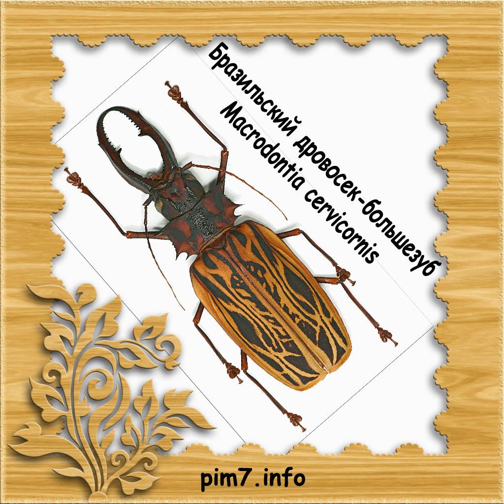 Изображение бразильского большезуба в рамке