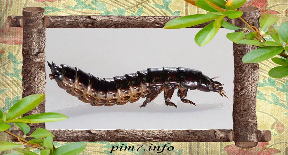 Фото личинки жужелицы кавказской