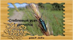 Изображение жука стеблевого усача