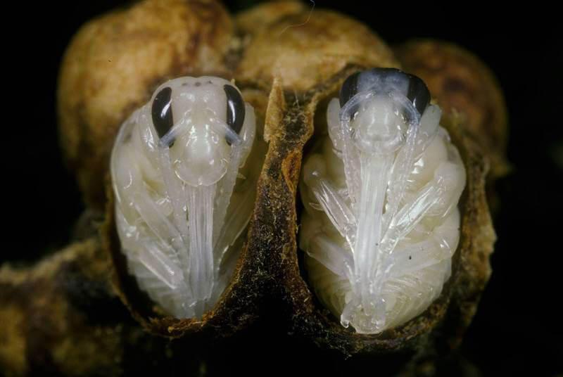 Фото личинок шмеля в коконе