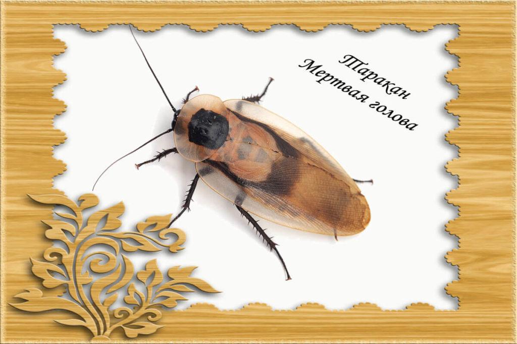 Изображение таракана мертвая голова
