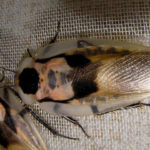 Фото таракана Blaberus craniifer