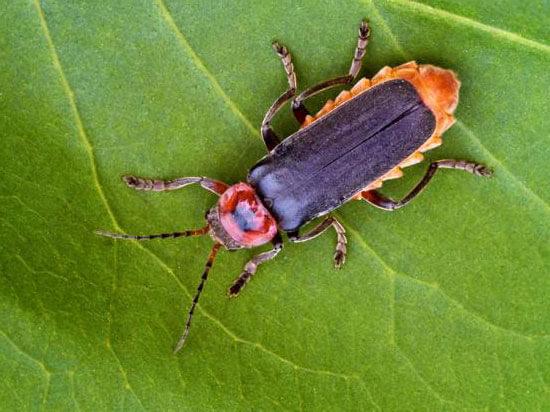 Фото самки жука солдатика