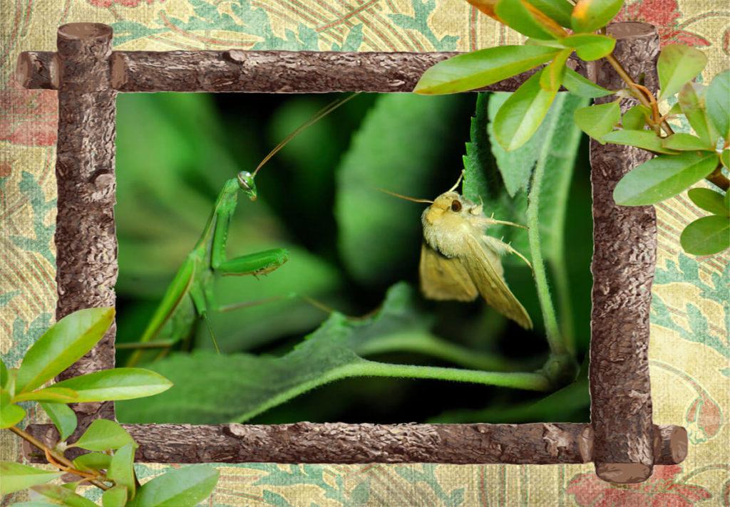 Фото богомол обыкновенный охотится на бабочку