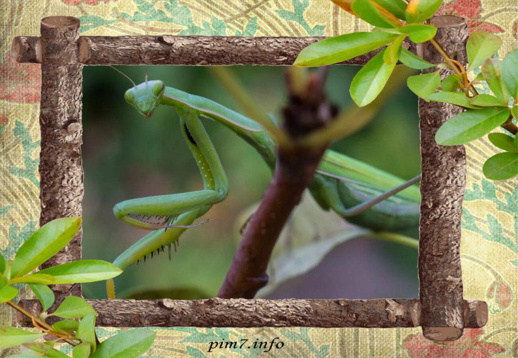 Фото богомола обыкновенного сидящего на ветке