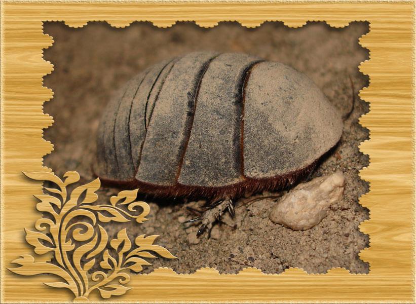 Фото таракан черепашка