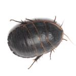 Фото египетского таракана черепашки