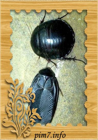 Фото самки и самца египетского таракана черепашки