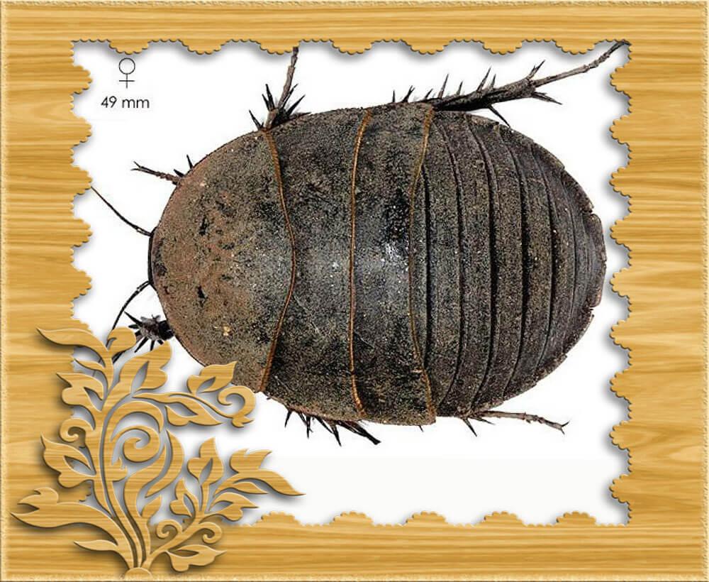 Фото самки египетского таракана