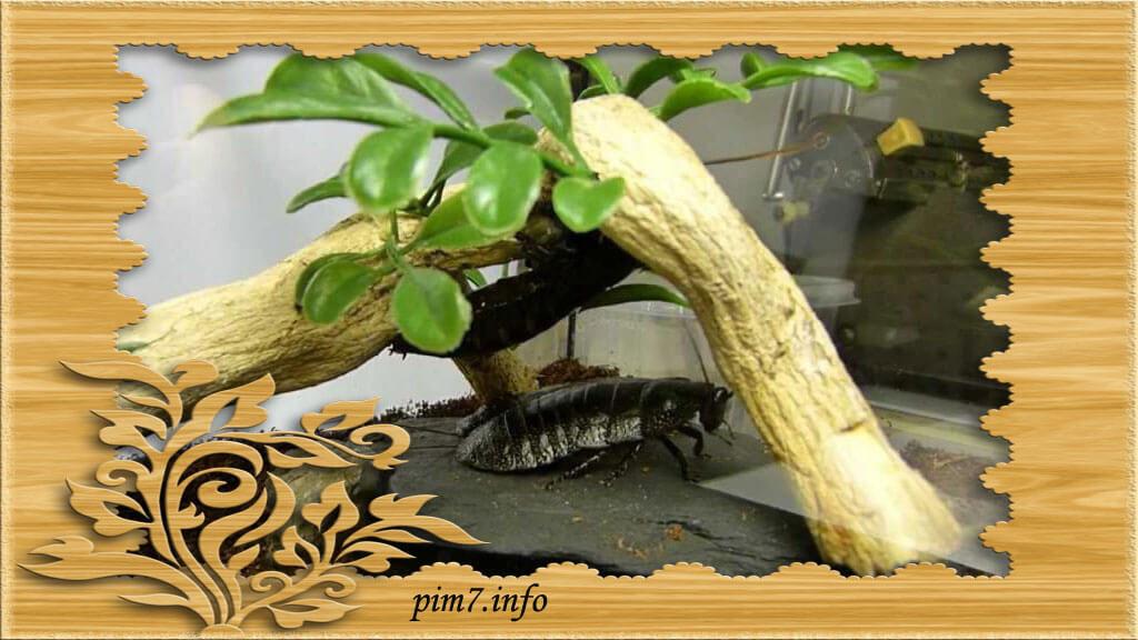 Содержание в террариуме таракана черепашку