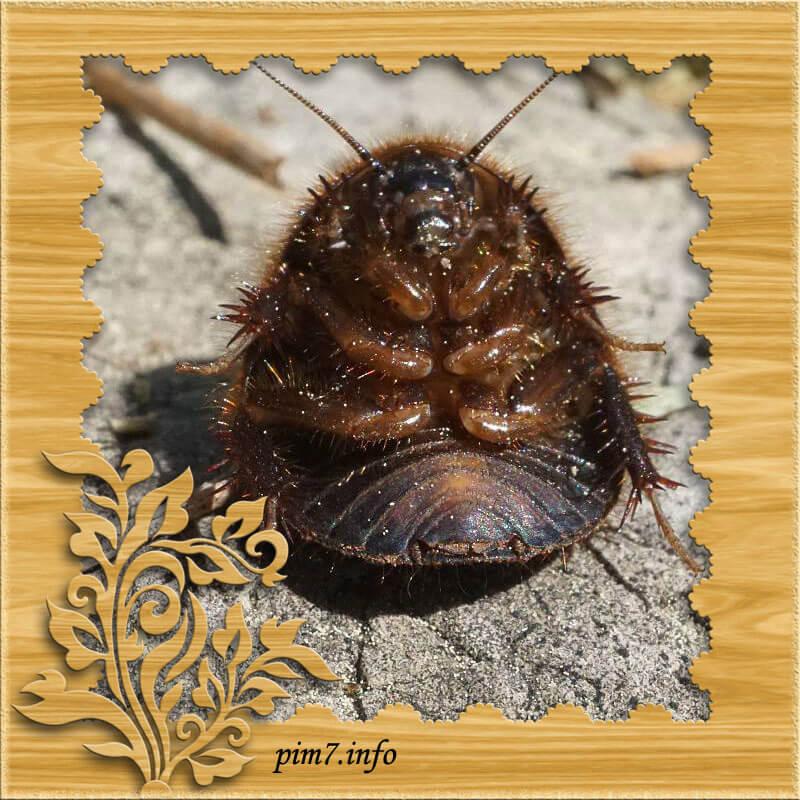 Фото вид снизу египетского таракана