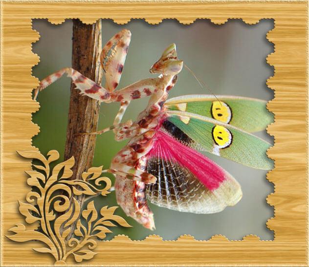Красивое фото в рамке с индийским цветочным богомолом