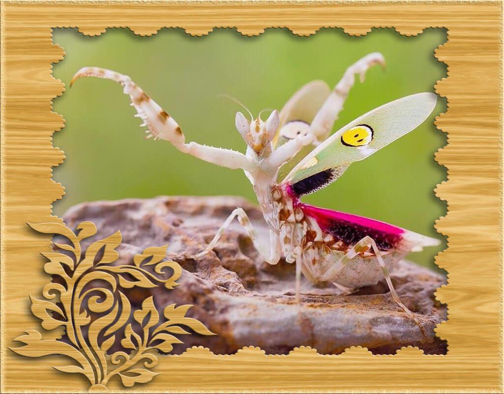 Фото индийский цветочный богомол