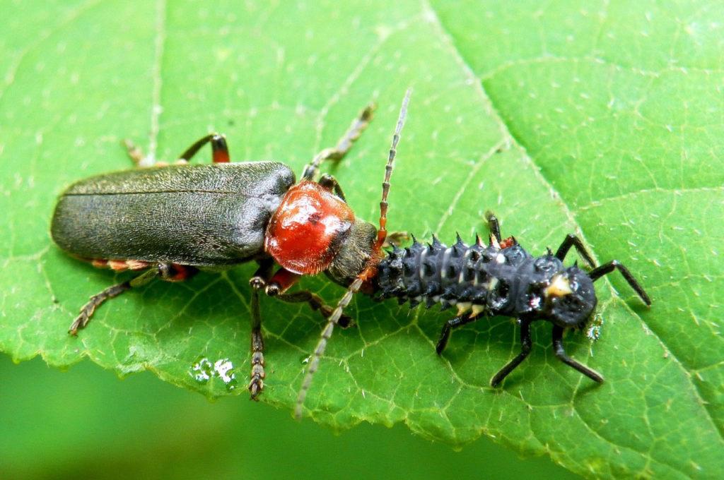 Фото жука солдатика поймавшего свою добычу