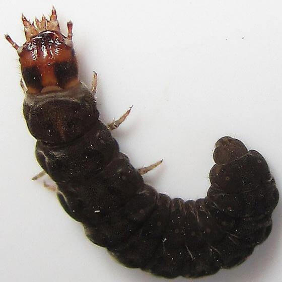 Фото личинки жука пожарника