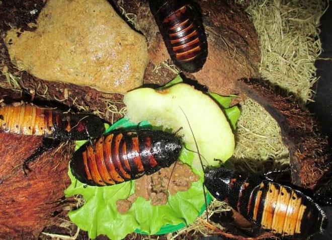 Фото мадагаскарские тараканы кушают