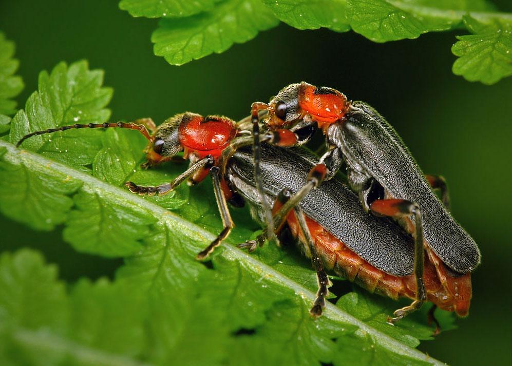 Фото спаривание жука мягкотелки деревенской