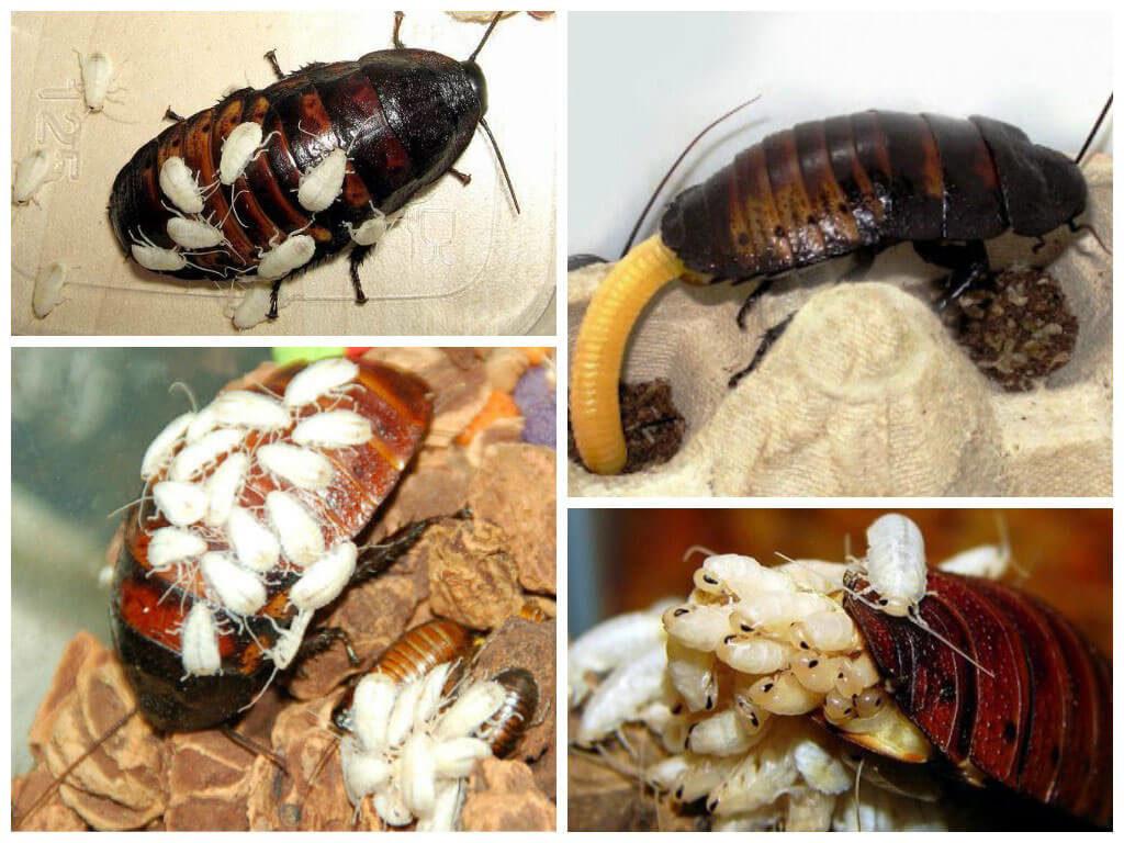 Фото рождение мадагаскарских тараканов