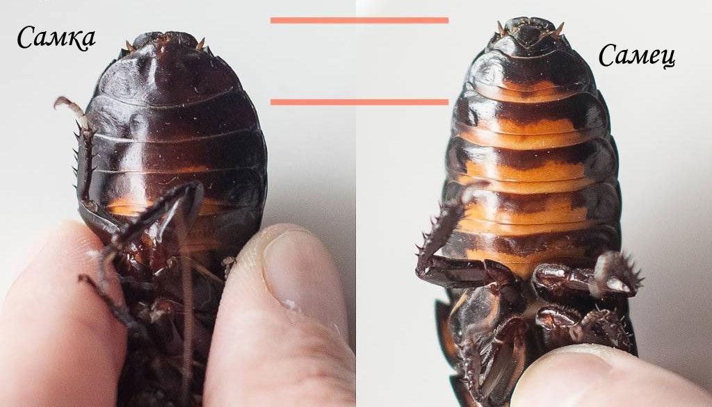 Изображение различия самца и самки шипящего мадагаскарского таракана