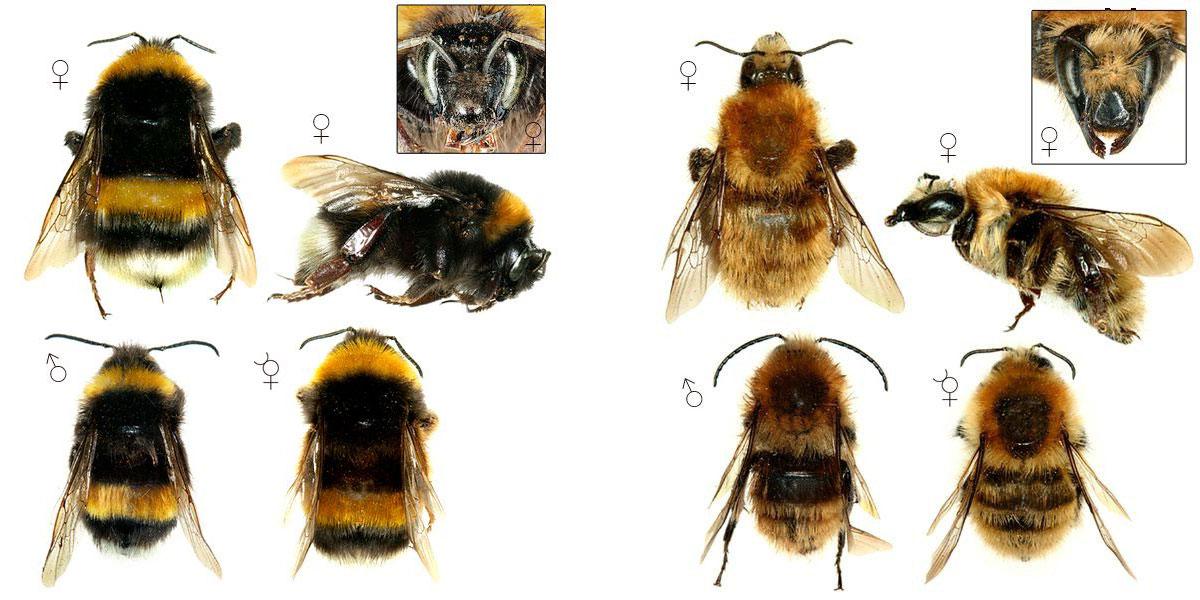 Изображение самца и самки шмелей для сравнения