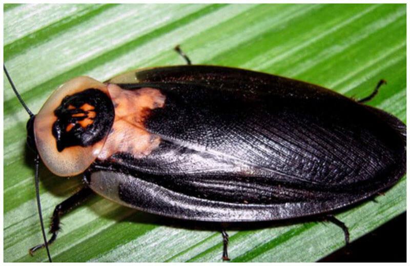Фото крупного таракана мертвая голова