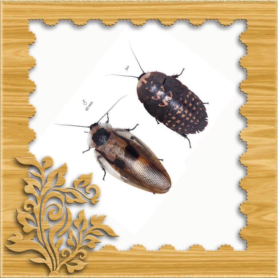 Изображение самки и самца таракана мертвая голова