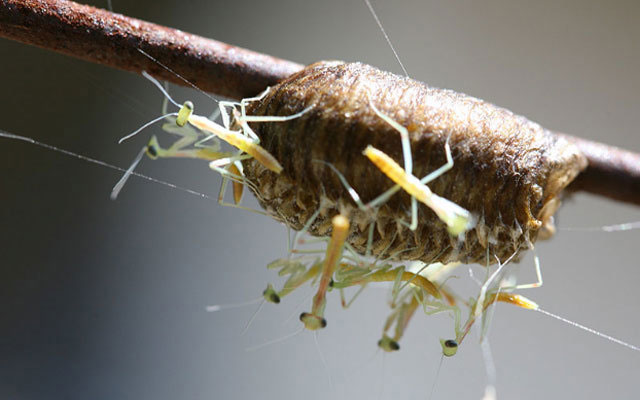 Фото личинок богомола