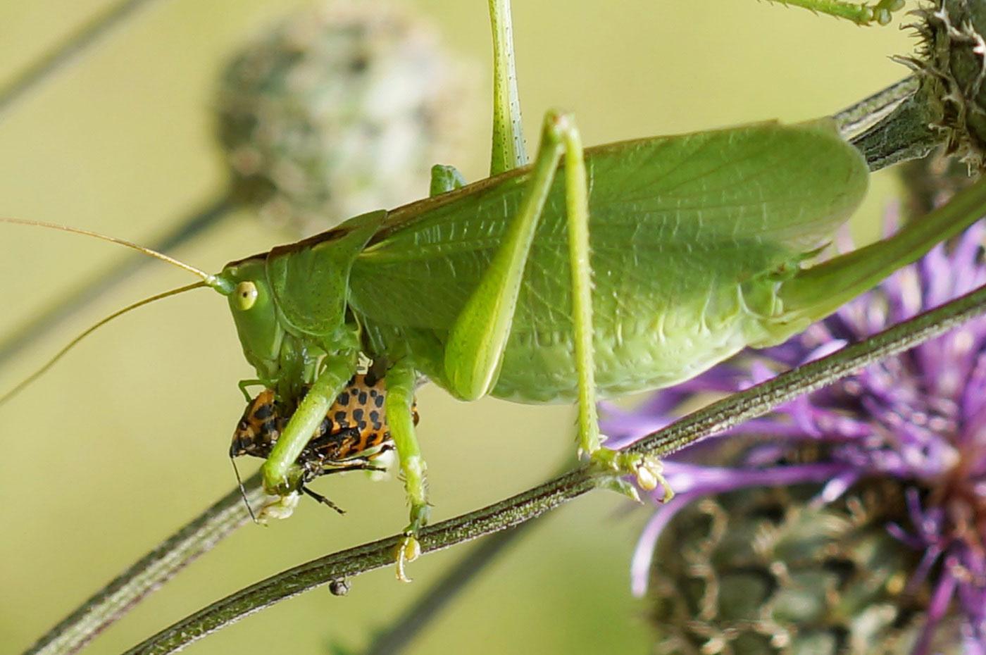 Фото кузнечик охотится на насекомых