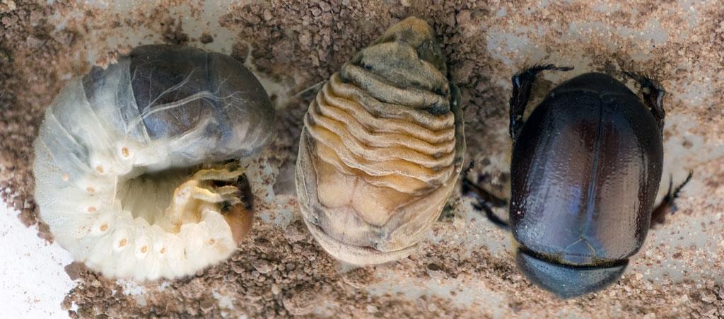 Фото стадия развития жука скарабея