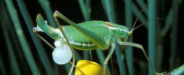 Фото оплодотворенной самки кузнечика